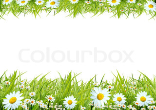 White camomiles and green grass as a background