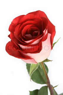 Close-up of nice red rose standing on white background
