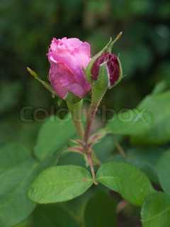 Pink rose and red rose bud with leafs