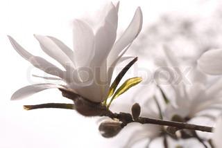 Hvid magnolia på en gren