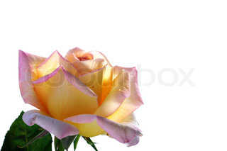 Yellow-pink rose in back light on a white background.