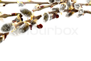 willow catkins isolated on a white background