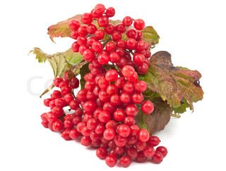 red berries of Viburnum on a white background