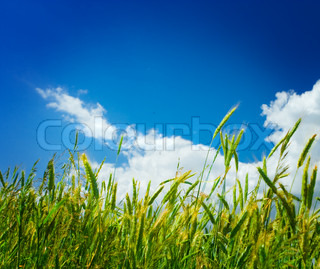 wheat on a backgorund of the sky close up