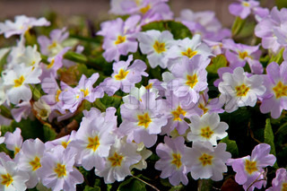 Closeup picture of a primrose. Very beautiful flowers of primroses.