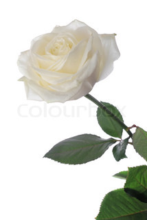 White Rose .