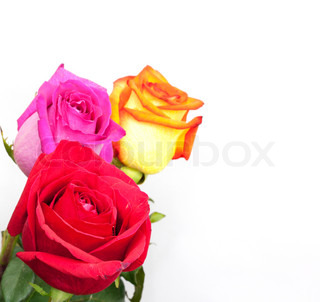 Beautiful three roses on white background with space for copy.