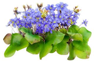 Bush der erste blaue wilden Wäldern Frühjahr April Flowers -
