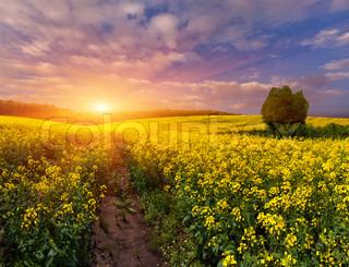 Sommer Landskab med et felt af gule blomster.