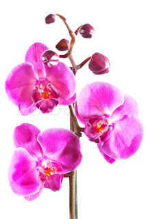 Beautiful purple orchid isolated on white