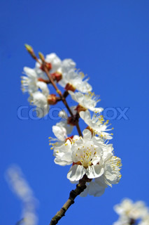 Close-up branch of cherry bloom in spring