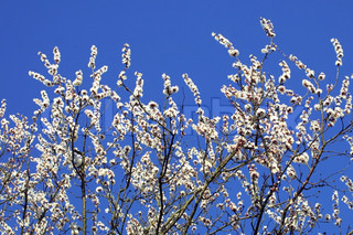 Branches of cherry blossom in spring