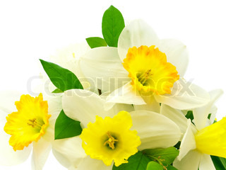 bunch of narcissus flowers over white background