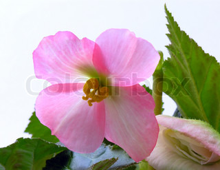 pink-coloured begonia,s-flower