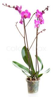Blomstrende plante af orkidé i urtepotte isoleret på hvidt