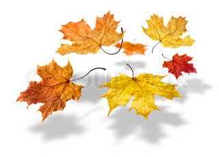Colorful autumn maple leaves flying and falling on white background