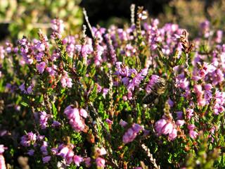 blomstrende Erica plante i en lyng felt, Calluna vulgaris , med bi
