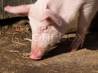 head of a pig searching after food on the ground