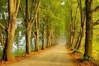 Alley af træer i morgensolen