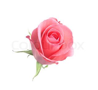 smuk lyserød rose isoleret på hvid baggrund
