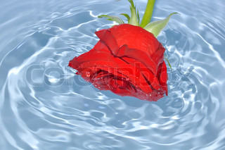 Red rose in blue water