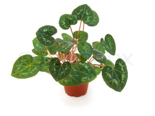foliage of cyclamen on a white background.