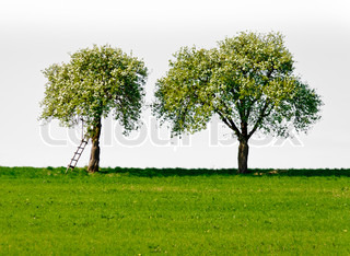 Two blooming apple trees on white background