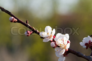 beautiful cherry tree, twig with flowers