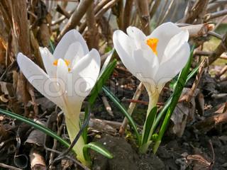 Die ersten Frühlingsblumen weiße Krokusse