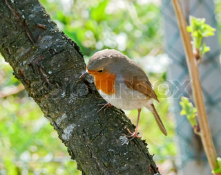 The lonely first spring a birdie the Robin sits on a branch