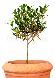 Small green olive tree in terracotta pot, isolated on white