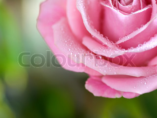 beautiful half rose with water droplets