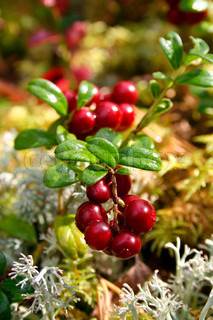 Fresh red cranberries on moss bed in autumn light