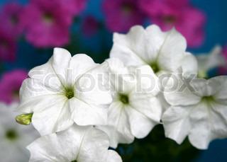 petunia blomster