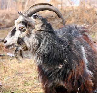 bearded goat with horns chew grass