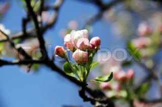 Pink and white cherry blossom branch in spring against a blue sky