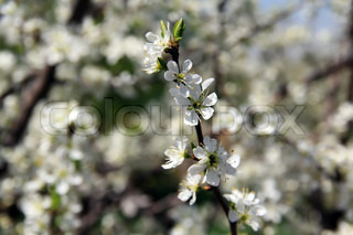 cherry white spring blossom and buds, tree branch
