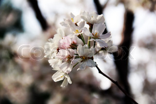 spring cherry pink and white blossom, tree branch, floral macro view