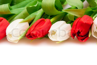 beautiful red and white tulips
