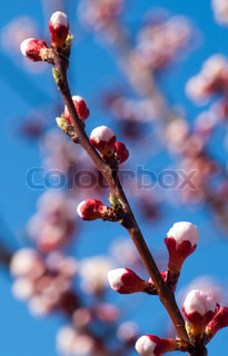 beautiful cherry tree on blue sky