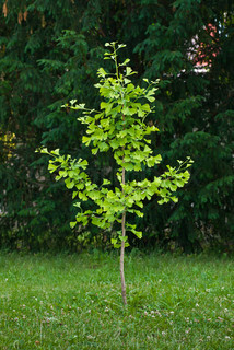 small ginkgo  tree in the park