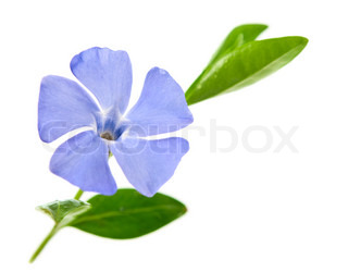 periwinkle flower on a white background