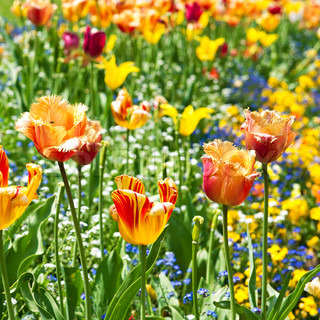 colorful spring tulip flowers. sunny day