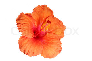 Orange hibiscus isoleret på den hvide backgroun