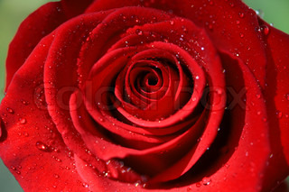 Close-up of Red Rose after rain