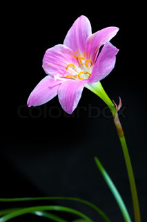 Rain Lily (Fairy Lily, Fadjar's pink, Zephyranthes rosea) isolated on black