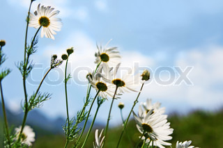 meadow of flower  chamomile