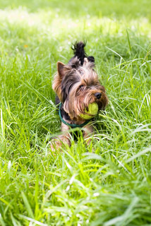 Little york puppy playng with a ball in grass