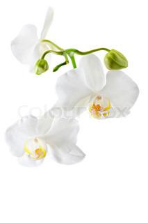 Blooming hvid orkidé plante isoleret på hvid baggrund .