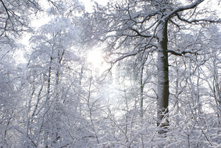 The beams of the sun which are making the way through snow-covered trees